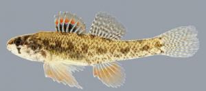Least Darter - Etheostoma microperca